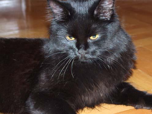 Сибирский кот черный окрас